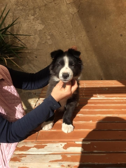 DISPONIBILI CUCCIOLI - BORDER COLLIE e AMSTAFF