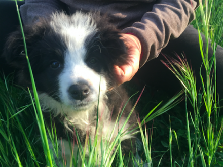 Ancora 2 splendide femmine Border Collie disponibili - BORDER COLLIE e AMSTAFF