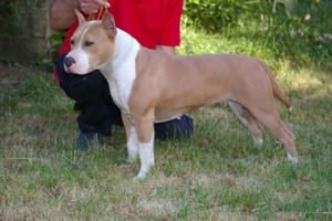 PARASTONE'S SPLASH OF CLASS - BORDER COLLIE e AMSTAFF