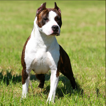 JRCH. SAN MARINO GOLDMASK IN THE WOOD - BORDER COLLIE e AMSTAFF